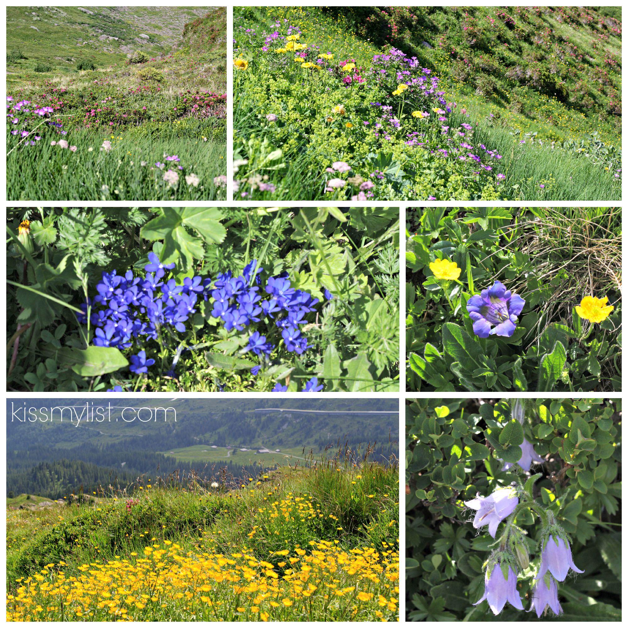 Flowers of Swiss Alps